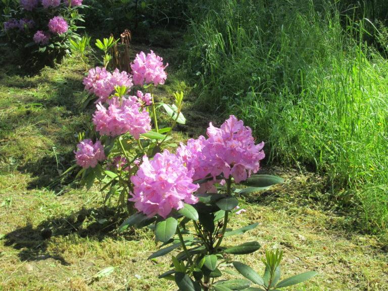 RhRhododendron im Arboretum