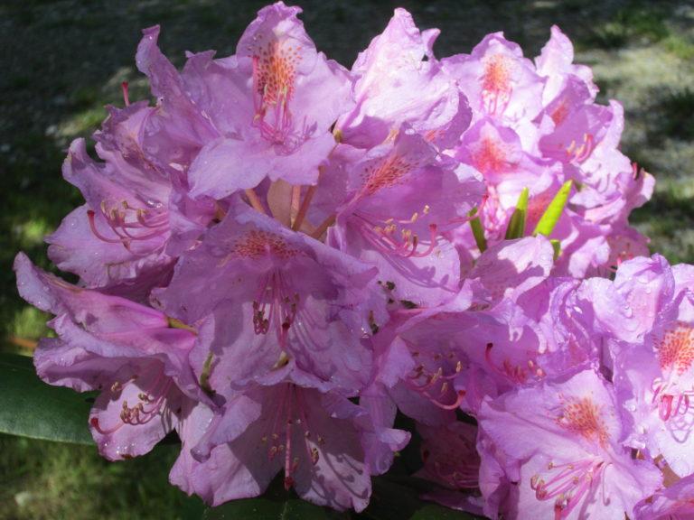 Große Sammelblüte des Rhododendron catawbiense