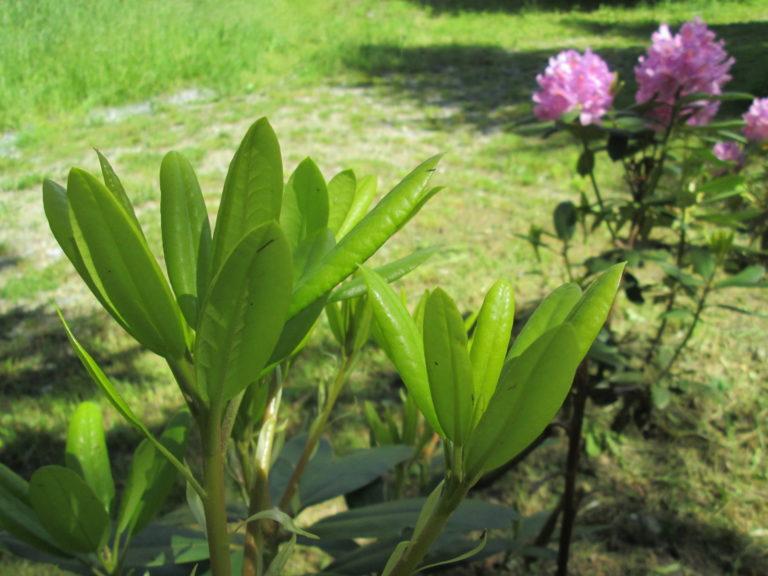 Blätter groß vom Rhododendron