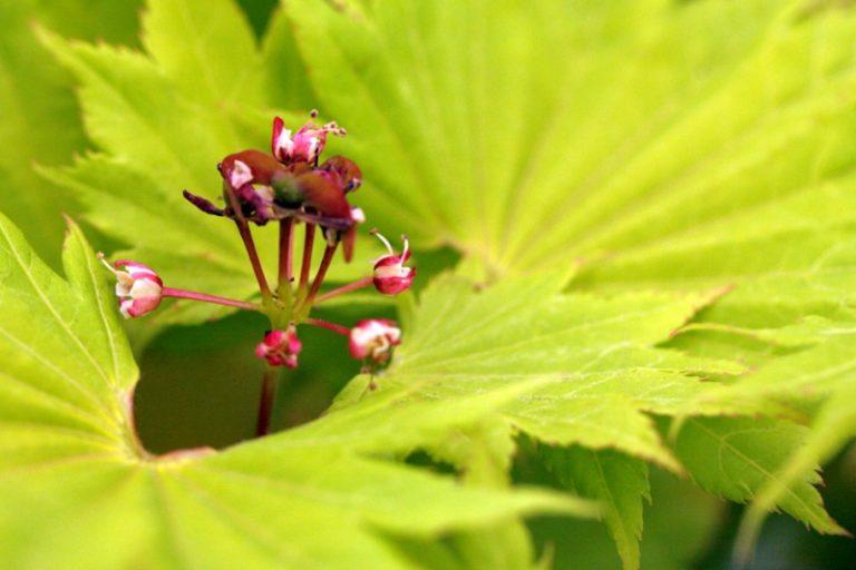 Goldahorn Blüten und Blätter