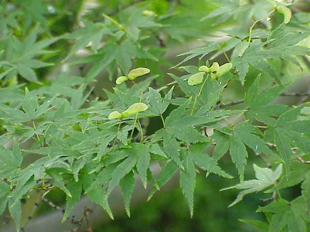 Blätter des japanischen Fächer-Ahorn mit Samen