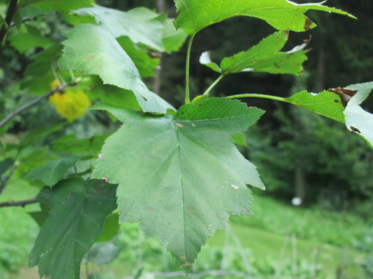 Grünes Blatt der Elsbeere