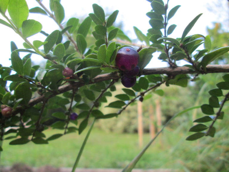Ilex crenata Früchte schwarz und Blätter