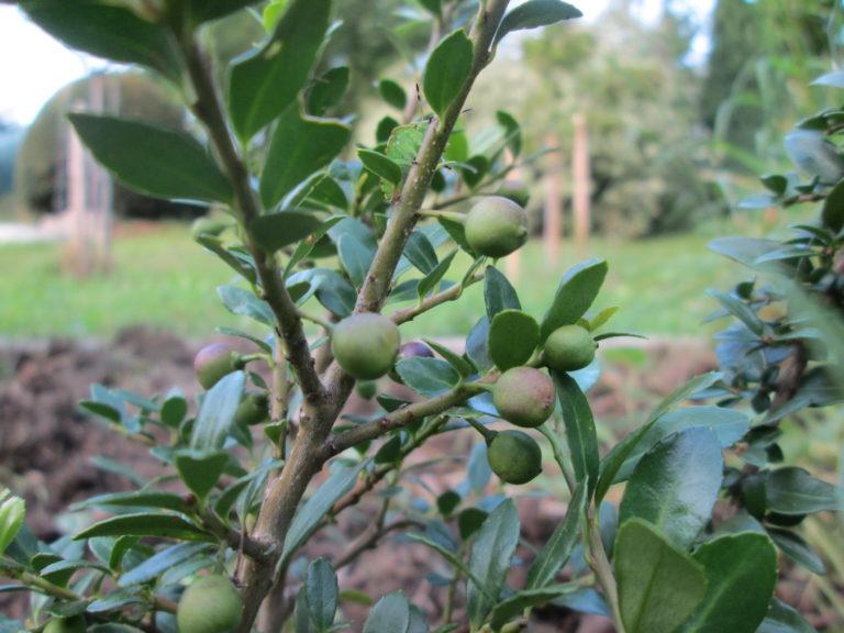 Iex crenata Früchte noch unreif