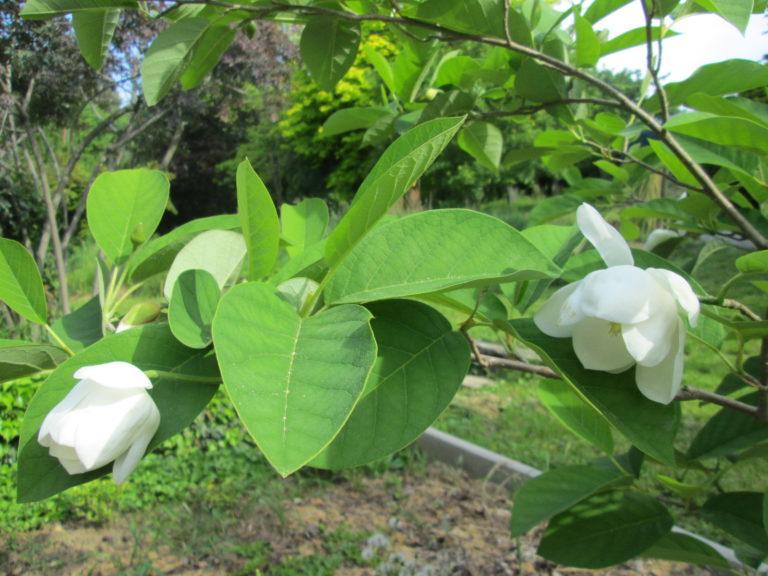 Sommer-Magnolien-Blätter und Blüten