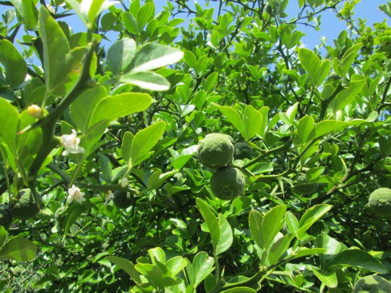 Poncirus trifoliata unreife Früchte und Blätter