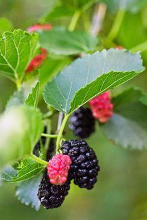 Frucht der Schwarzen Maulbeere