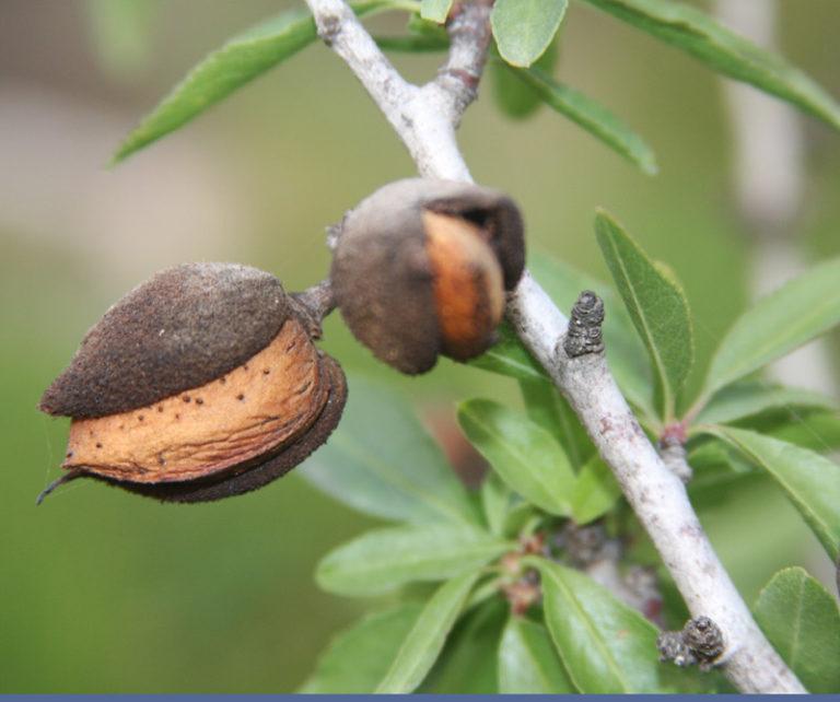 Reife Mandelfrucht am Zweig