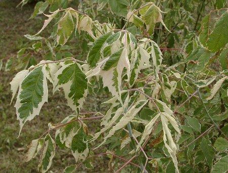 Panaschierte Blätter von Acer negundo