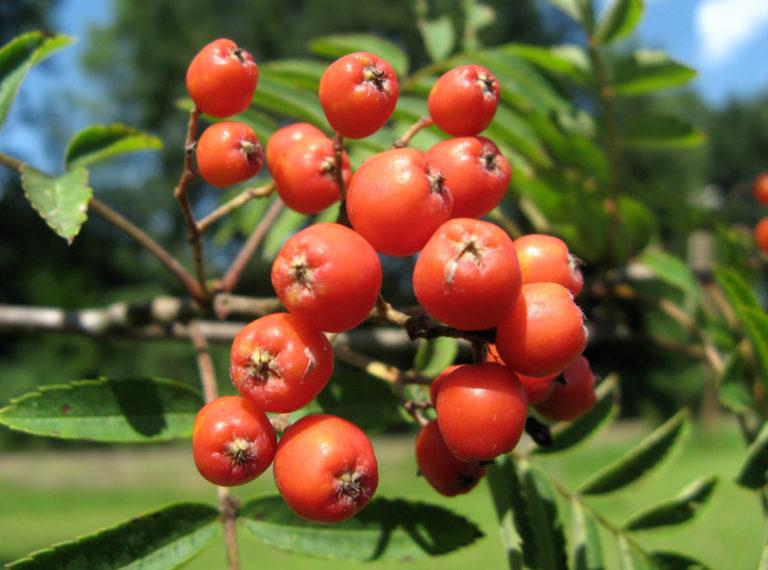 Früchte der Mährischen Eberesche